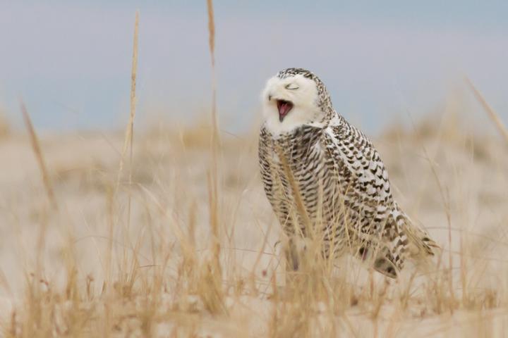 Snowy OwlFb123013_72ppi