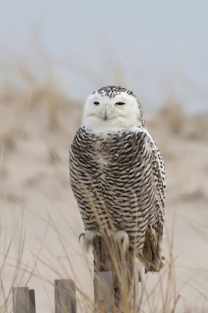 Snowy OwlFe123013_72ppi