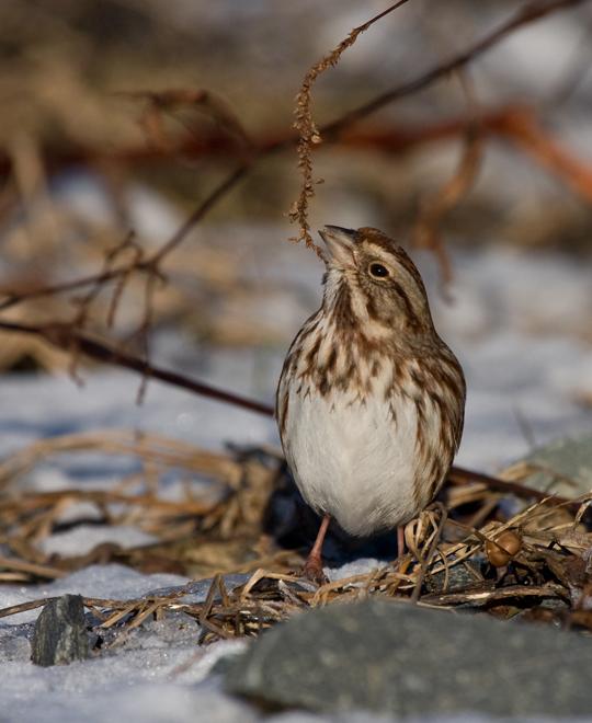 Song Sparrowa011010_72ppi