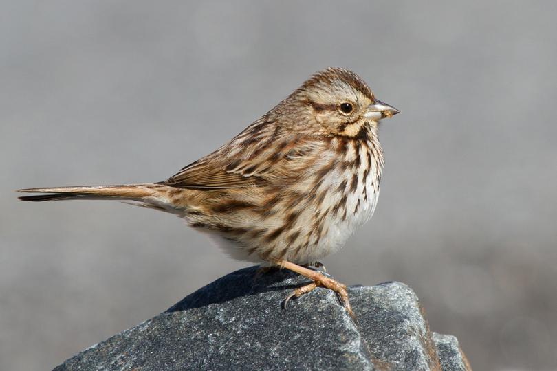 Song Sparrowa011913_72ppi