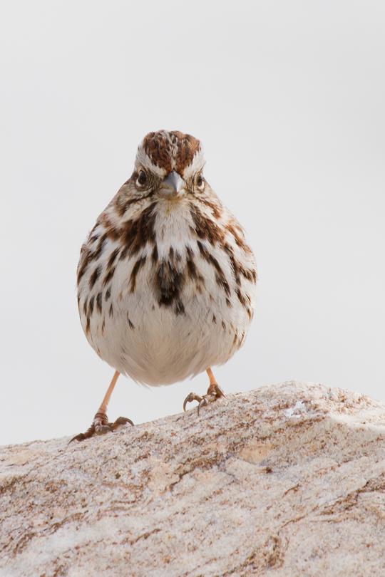 Song Sparrowa022813_72ppi