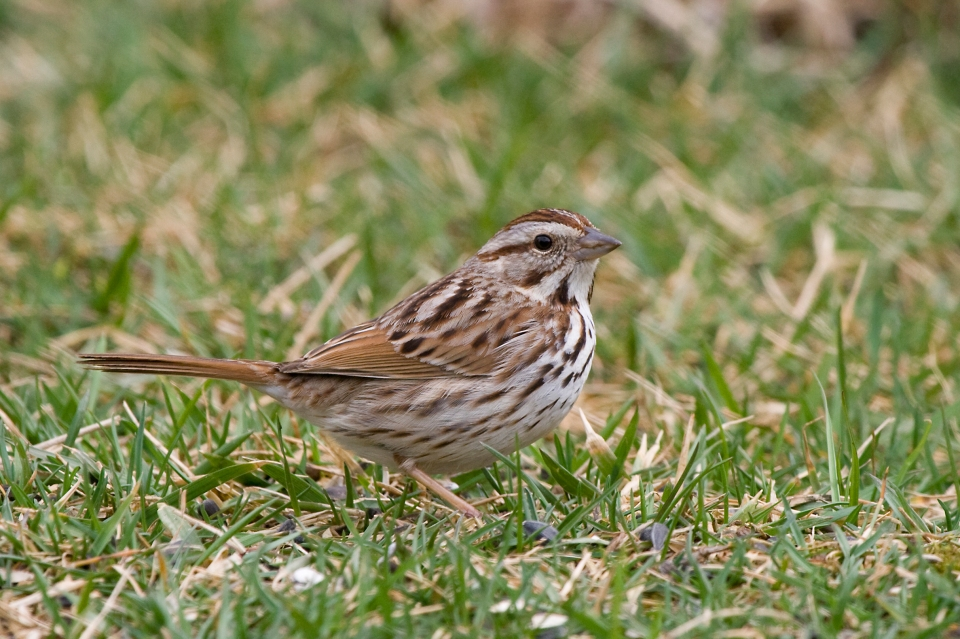 Song Sparrowa03.17.09