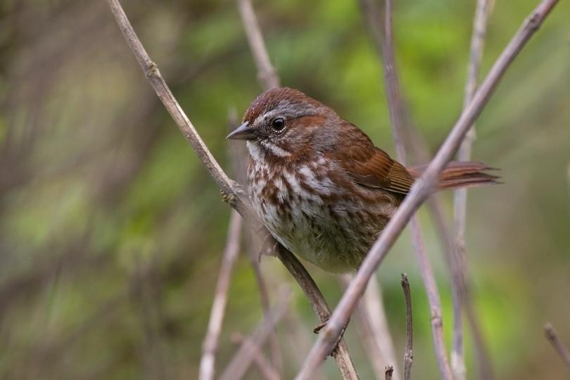 Song Sparrowa062110_72ppi