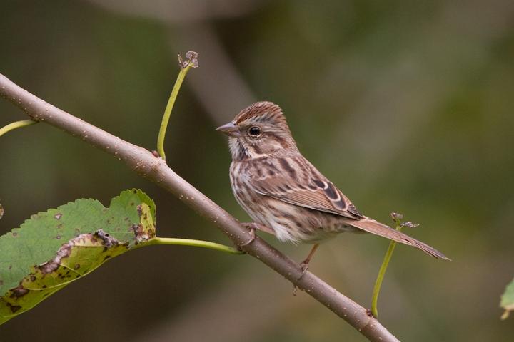 Song Sparrowa1018110_72ppi