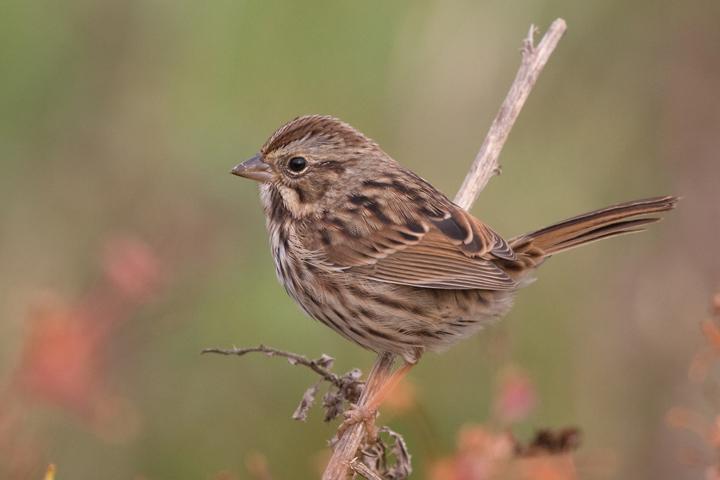 Song Sparrowa103010_72ppi