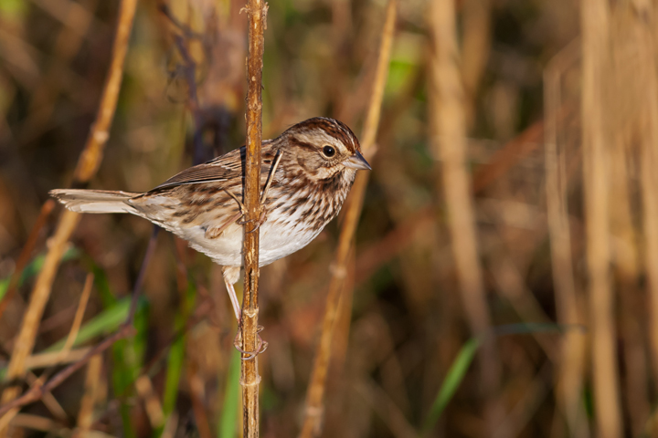 Song Sparrowa110714_72ppi