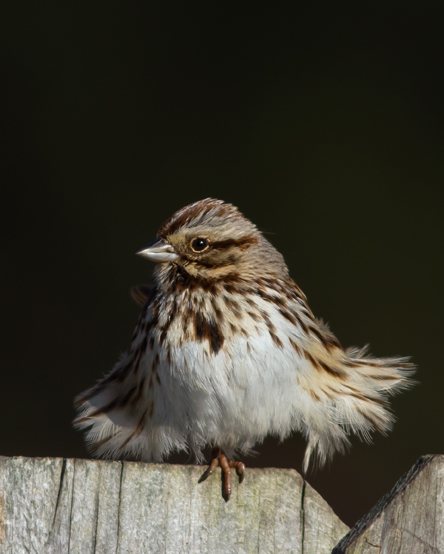 Song Sparrowb012914_72ppi
