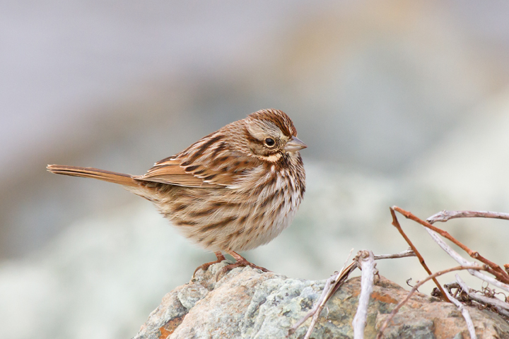 Song Sparrowb030213_72dpi