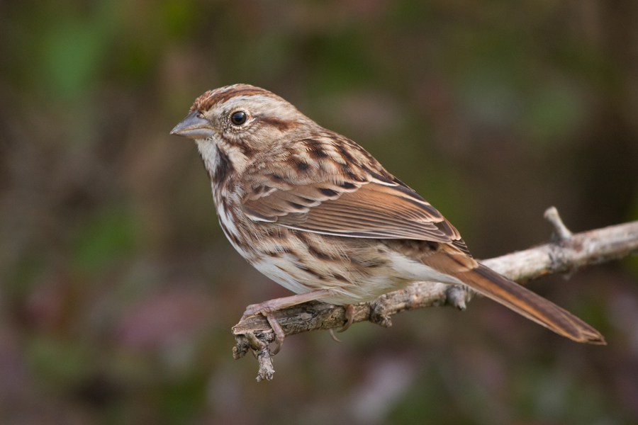 Song Sparrowb103010_72ppi
