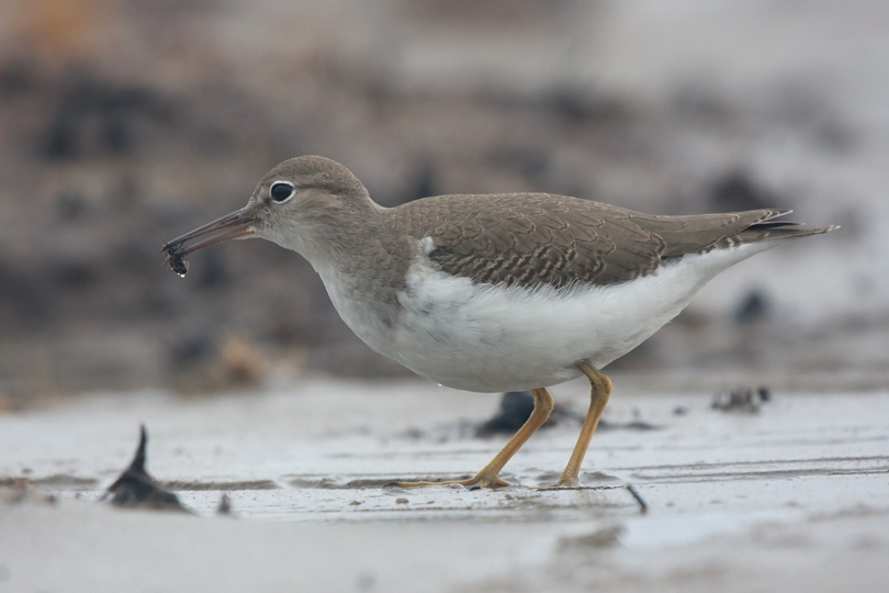 Spotted SandpiperHYh081111_72ppi