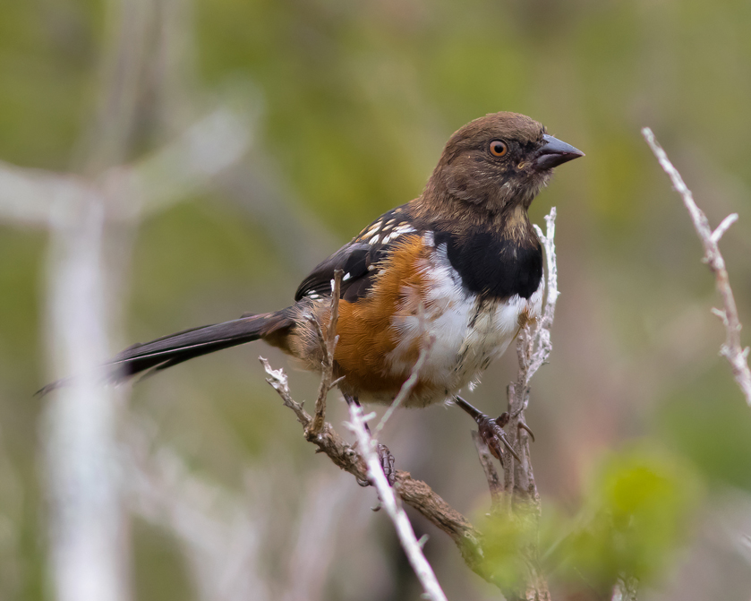 Spotted TowheeHYMa082115_72ppi