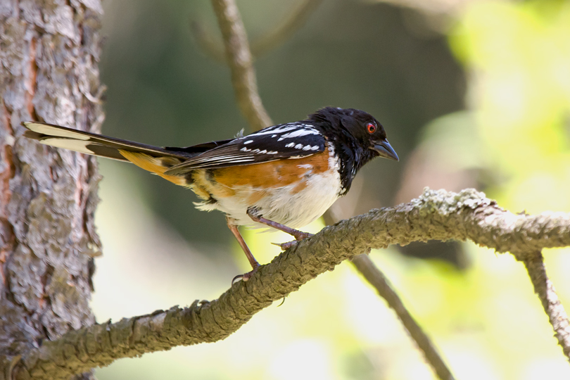 Spotted TowheeMbb061809_72ppi