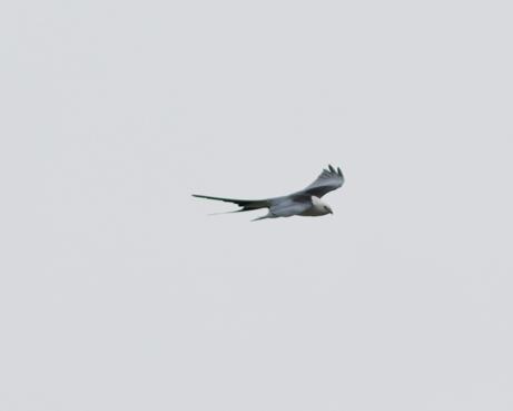 Swallow-tailed Kitea042216_72ppi