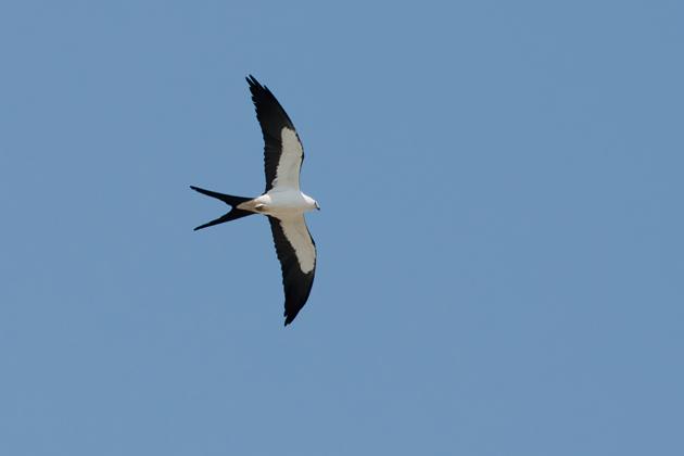 Swallow-tailed Kitea073014_72ppi