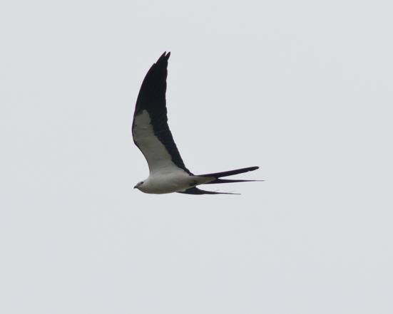 Swallow-tailed Kiteb042216_72ppi