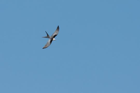 Swallow-tailed Kiteb073014_72ppi