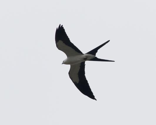 Swallow-tailed Kitec042216_72ppi