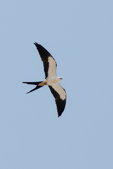 Swallow-tailed Kitec073014_72ppi