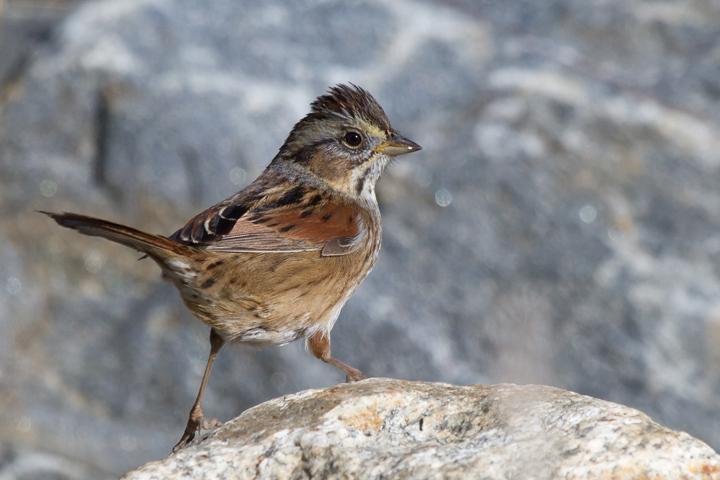 Swamp Sparrowa011913_72ppi