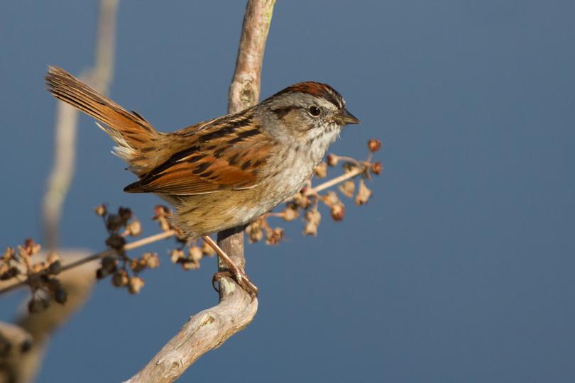 Swamp Sparrowa041313_72ppi