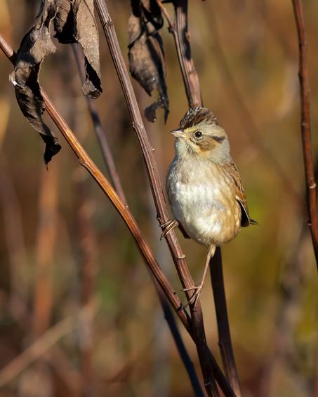 Swamp Sparrowa102714_72ppi