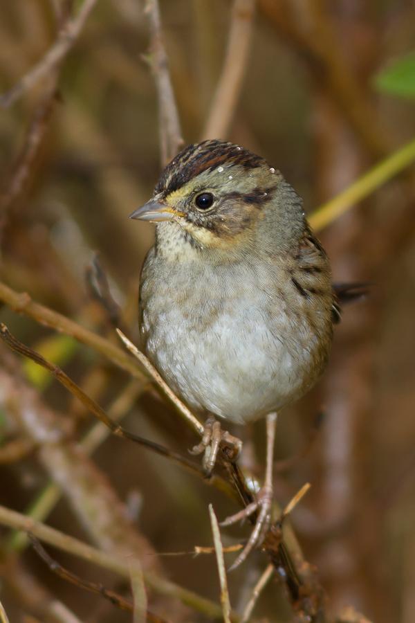 Swamp Sparrowa111613_72ppi