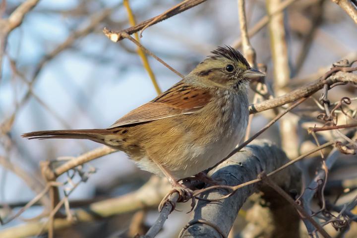 Swamp Sparrowa122015_72ppi