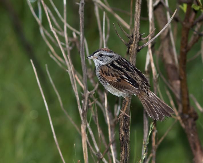 Swamp Sparrowb052316_72ppi