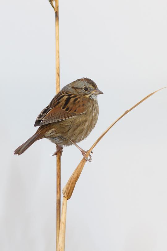 Swamp Sparrowb111613_72ppi