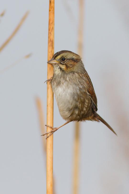 Swamp Sparrowc111613_72ppi