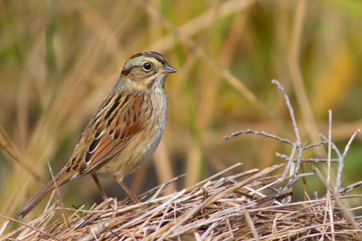 Swamp Sparrowf111613_72ppi