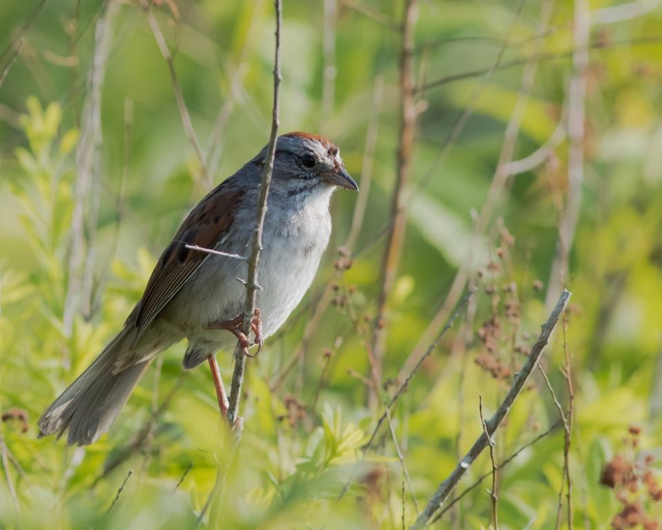 Swamp SparrowM1_72ppi