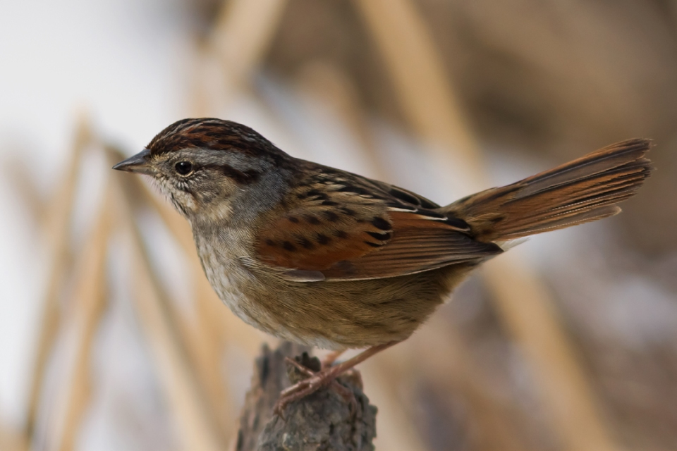 Swamp SparrowMb020114_72ppi