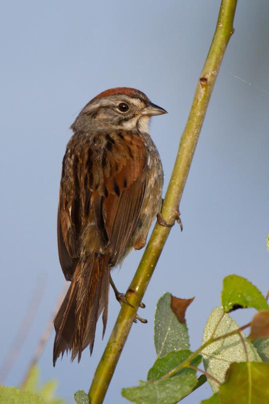 Swamp SparrowMb062313_72ppi