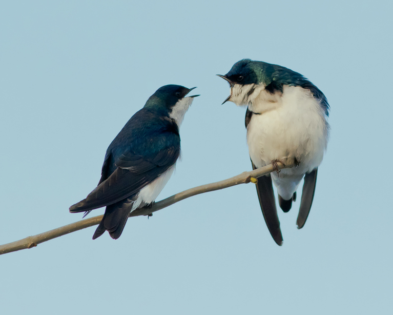Tree Swallow pair1_72ppi