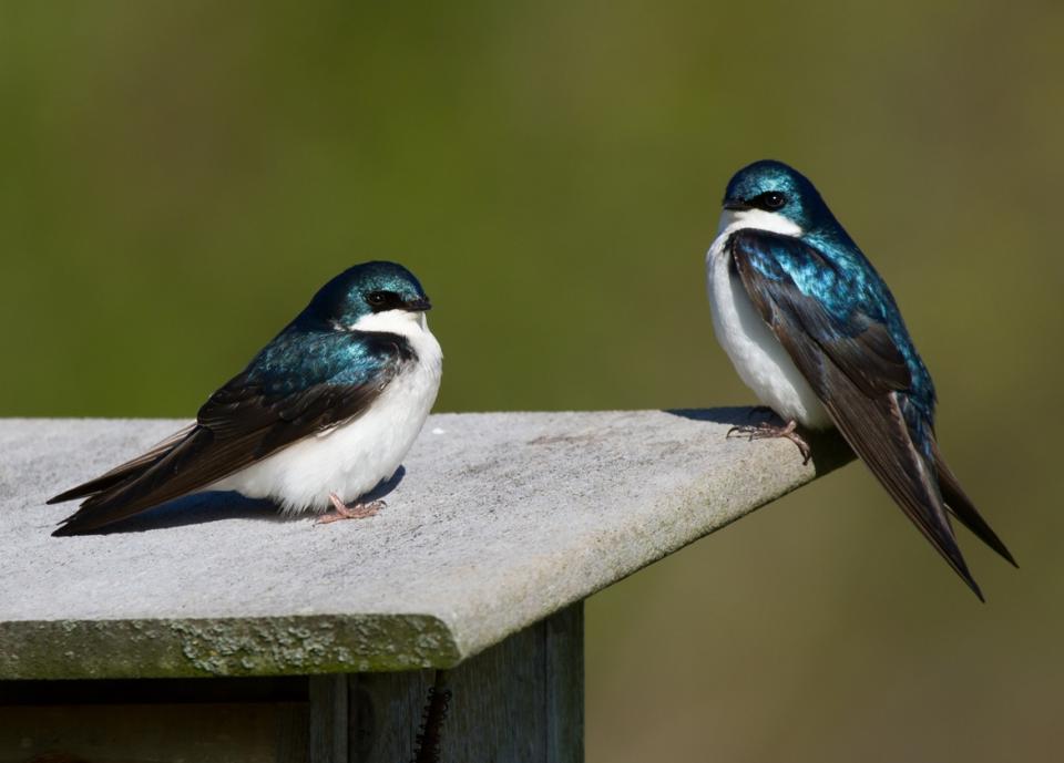 Tree Swallow paira050213_72ppi