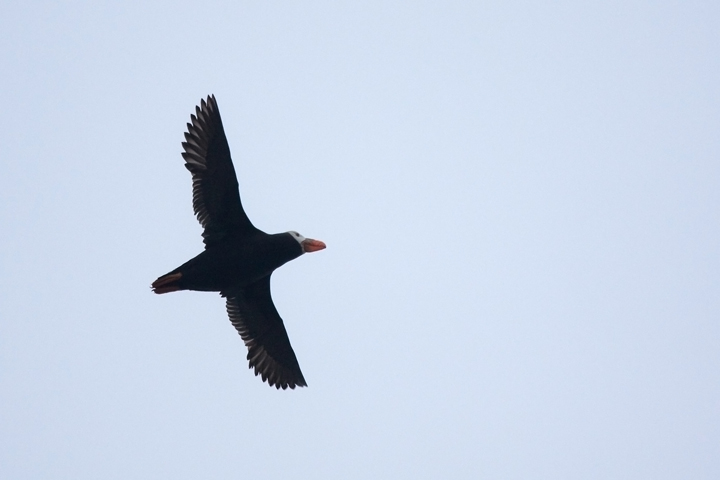 tufted-puffinb062110_72ppi