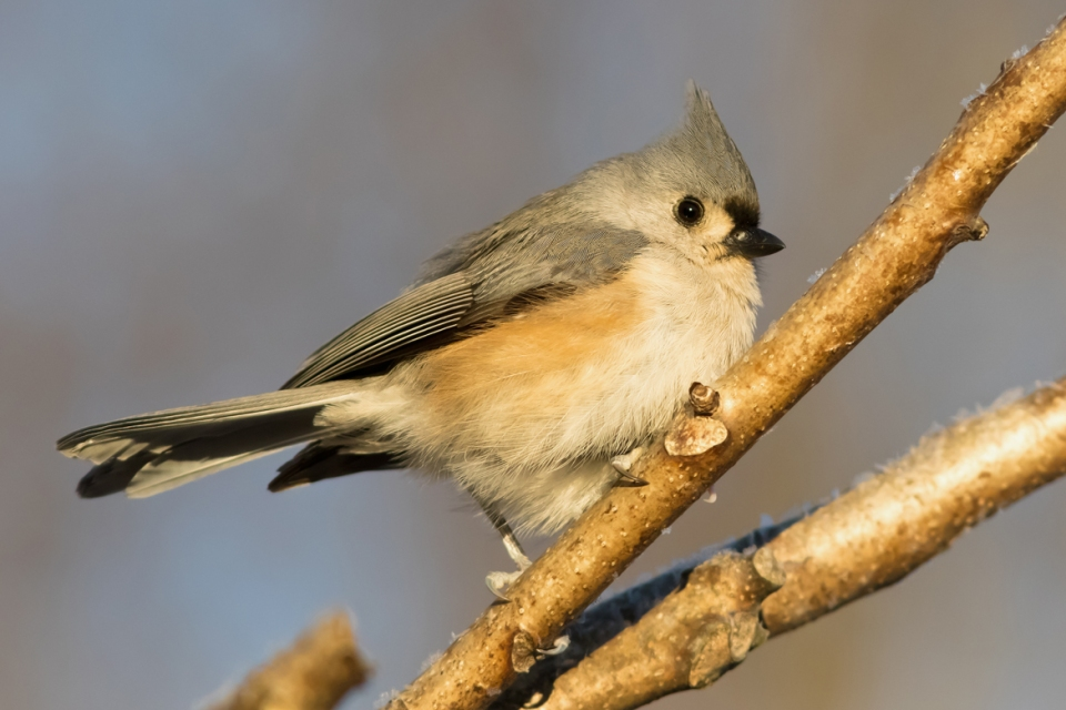 Tufted Titmouse1_72ppi