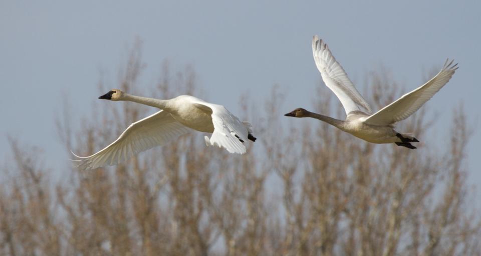 Tundra Swans010813_72ppi