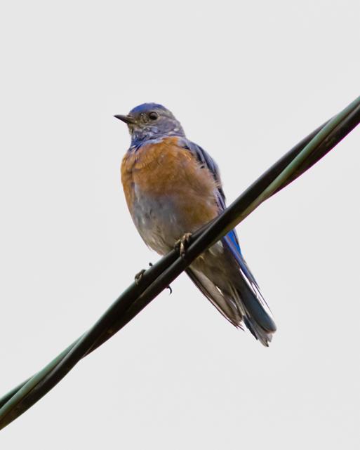 Western BluebirdMa082015_72ppi