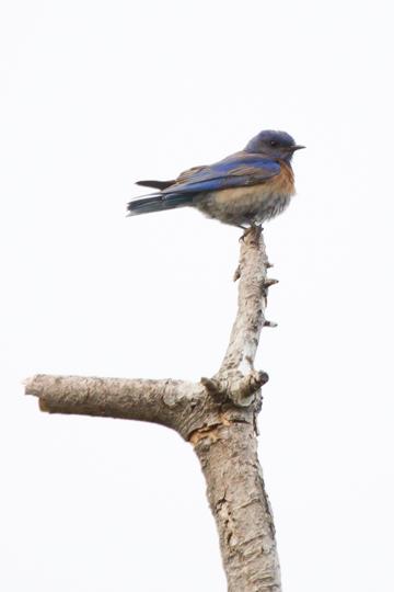 Western BluebirdMc061709_72ppi