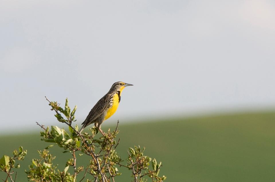 Western MeadowlarkMb206.15