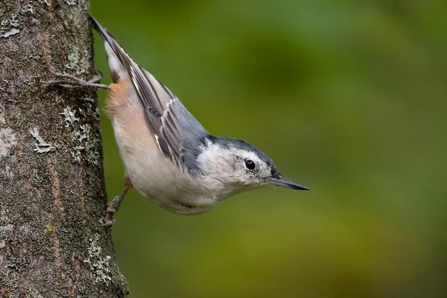 White-breasted NuthatchFa090510_72ppi