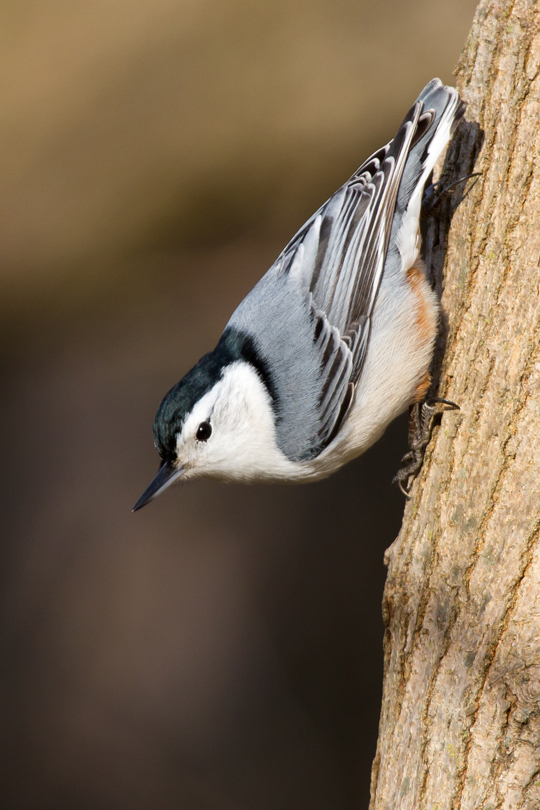White-breasted NuthatchMa010813_72ppi