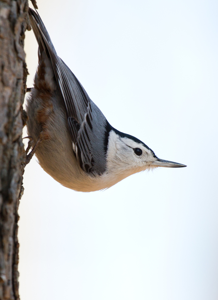 White-breasted NuthatchMa021813_72ppi