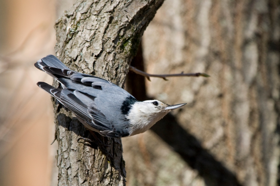 White-breasted NuthatchMa04.26.09