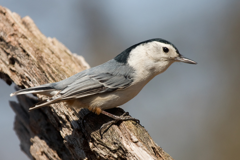White-breasted NuthatchMa040711_72ppi