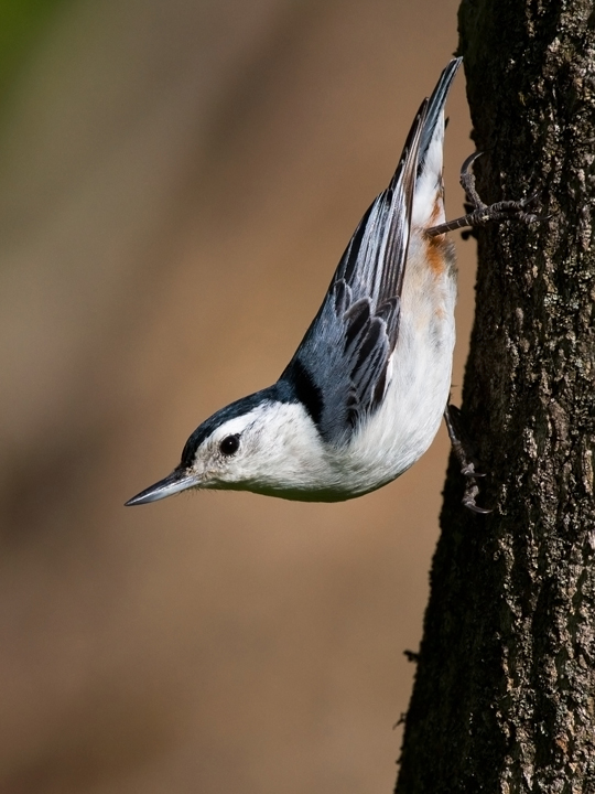 White-breasted NuthatchMa042010_72ppi