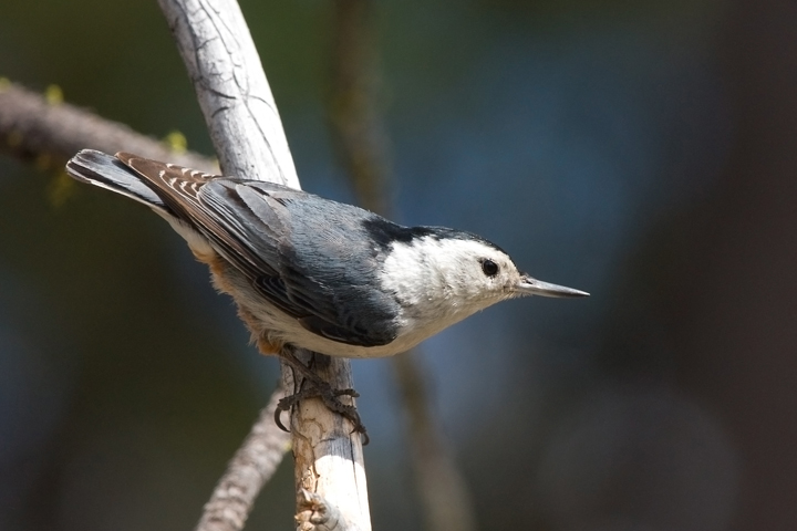 White-breasted NuthatchMa062310_72ppi