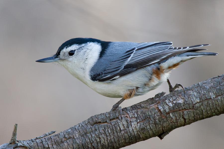 White-breasted NuthatchMa112912_72ppi